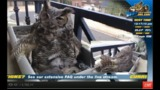 Alessondra's OKC Great Horned Owl-Cam