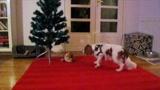 Retteg a kutyus a karácsonyfától