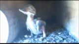 Kookaburra fióka - 2014.11.21.
