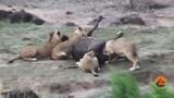Oroszl�nok �s kafferbivalyok harca
