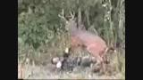 Szarvas bünteti a vadászt