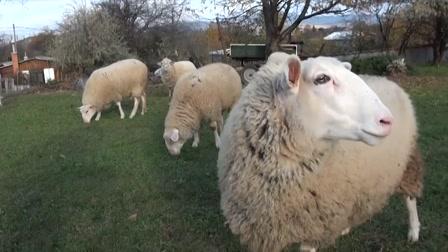 Kecskét vagy birkát tartsunk otthon?